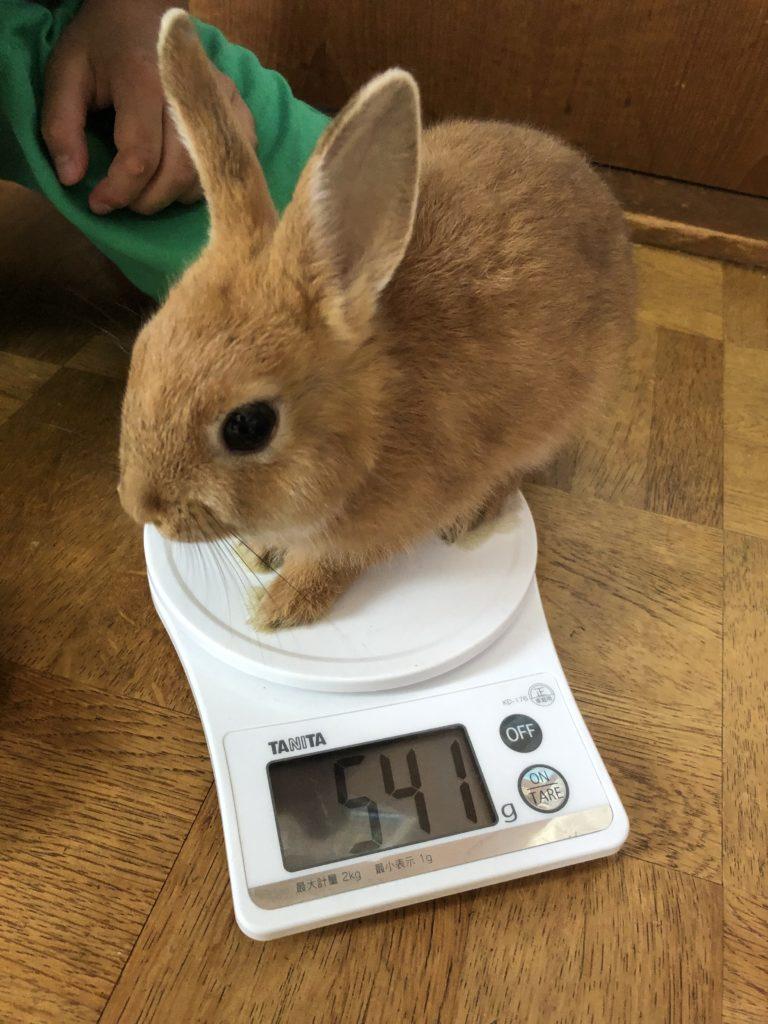 ネザーランドドワーフの体重測定