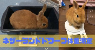 【うさぎ】ネザーランドドワーフの体重測定方法!こうすれば簡単!