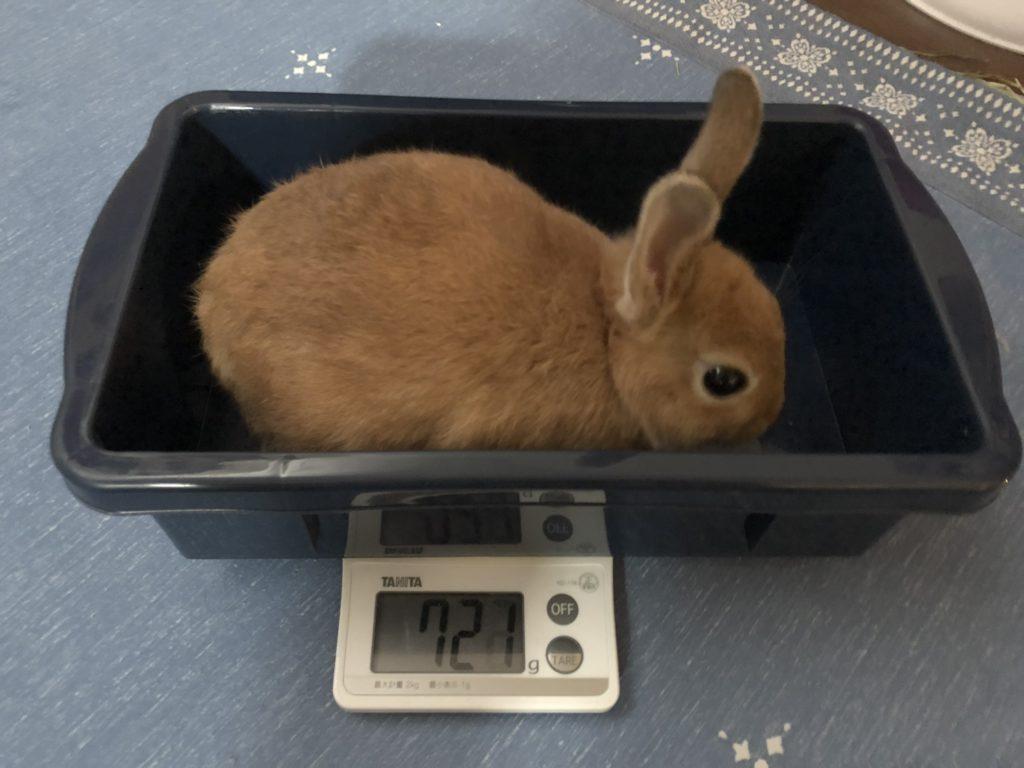 ネザーランドドワーフの体重測定3